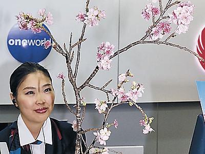 沖縄から琉球寒緋桜 小松空港で展示