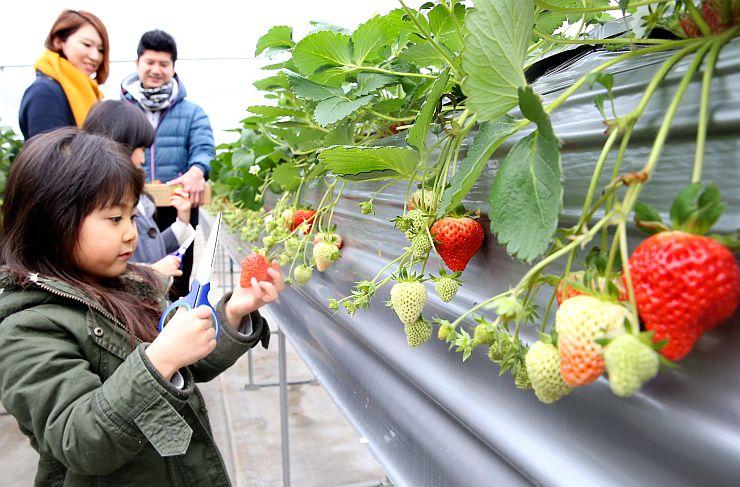 ハウス内で実ったイチゴ=長岡東山ふるさと体験農園