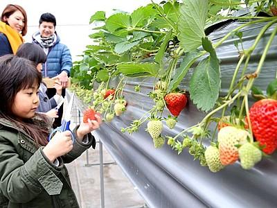 """甘い""""宝石""""見つけた イチゴ摘みにぎわう 東山農園"""