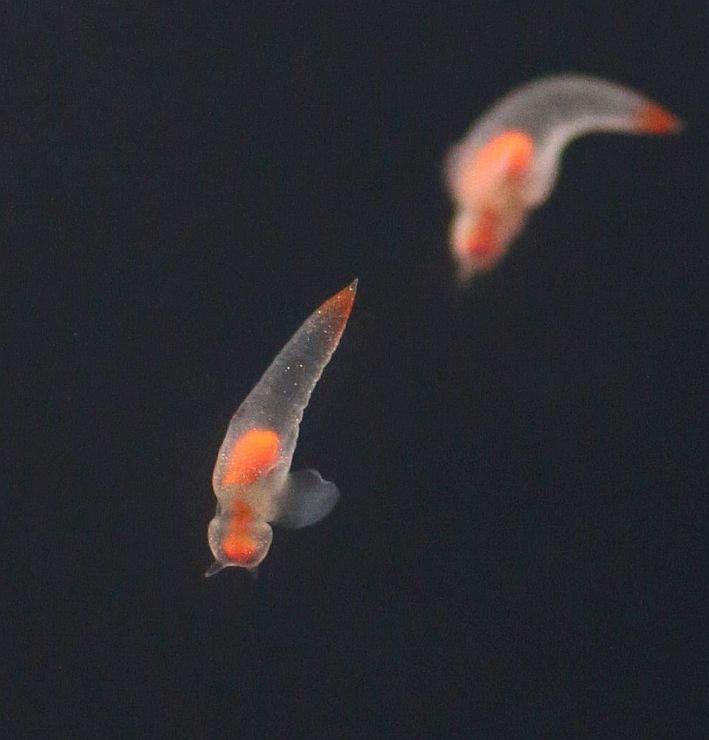 左右の翼足を動かして水中を漂うクリオネ=24日、上越市西本町4の市立水族博物館