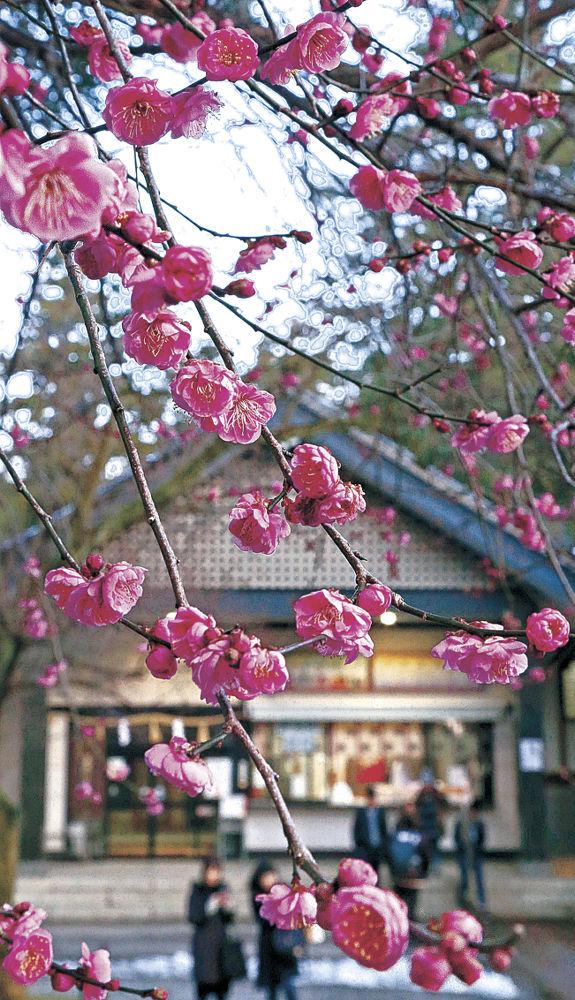 見頃を迎えた寒紅梅=金沢市の尾山神社