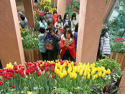 チューリップ彩り鮮やか 春節で四季彩館にぎわう