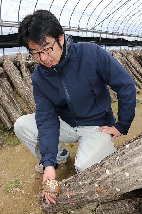 原木から生えるジャンボシイタケ「やひこ太郎」=1日、弥彦村