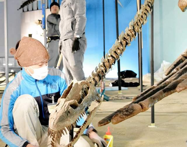 組み上げ、設置作業が終わった首長竜エラスモサウルス全身骨格=7日、勝山市の県立恐竜博物館