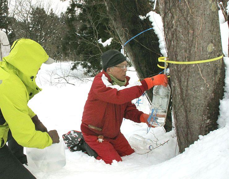 イタヤカエデの樹液を採取する矢代地区の住民有志=15日、妙高市