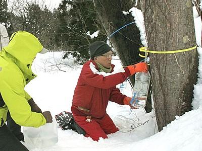 メープルシロップ 特産化へ樹液採取 妙高・矢代地区