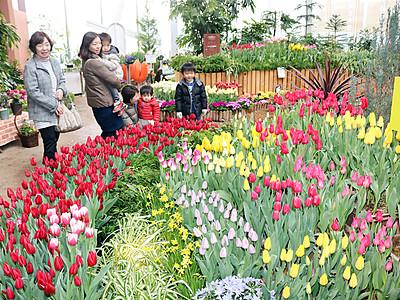 春告げるチューリップ 砺波の四季彩館で季節展示