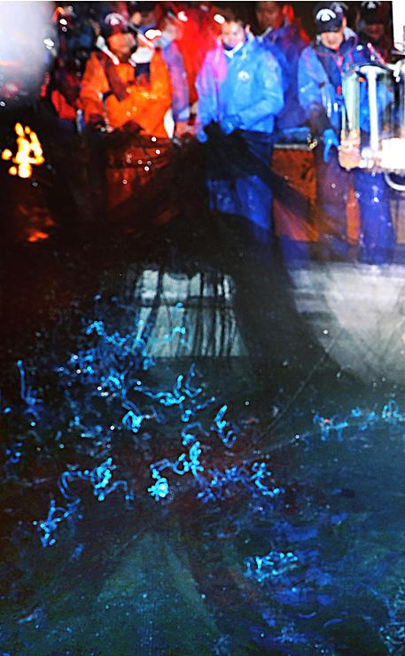 漁が解禁となり、引き揚げられた網の上でホタルイカが青白い光を放った=1日午前4時27分、滑川沖