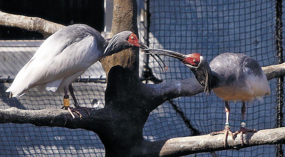 繁殖期に入ったトキのペア=能美市のいしかわ動物園