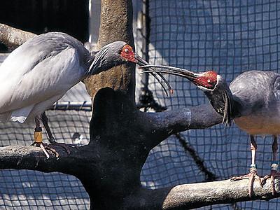 トキ、ドキドキつがい繁殖期に いしかわ動物園