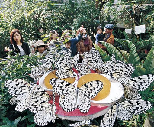 蜜台に集まるオオゴマダラ=白山市の石川県ふれあい昆虫館