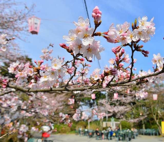陽気に誘われピンクの花を咲かせる桜=2016年3月、福井市の足羽山