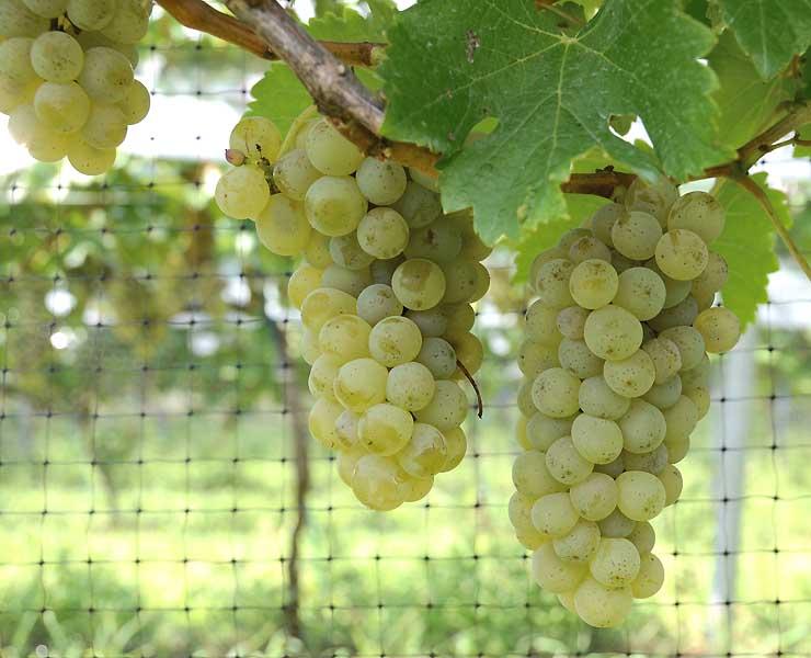 試験農地のワイン用ブドウ。このブドウで醸造したワインが26日に発売される=2016年9月、坂城町