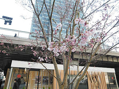 高遠の桜、都会の真ん中で咲く 新宿に16年11月末植樹