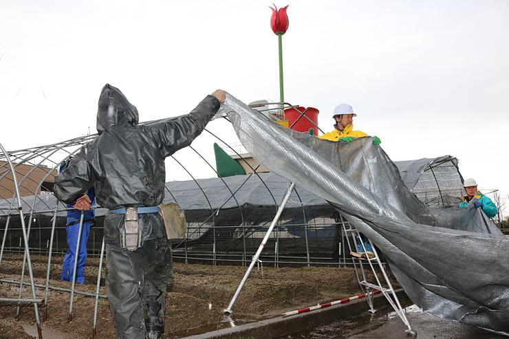 チューリップの開花を抑制するためネットを覆う業者