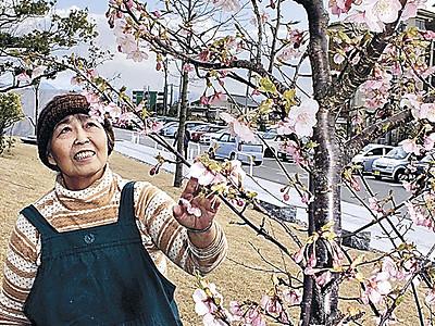 河津桜、春告げ 片山津温泉総湯前、2年ぶりに開花