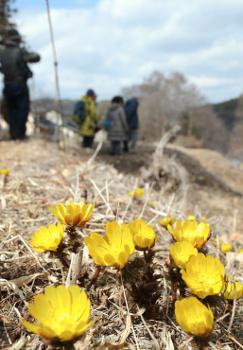 日当たりの良い斜面で開花したフクジュソウ=松本市四賀地区赤怒田