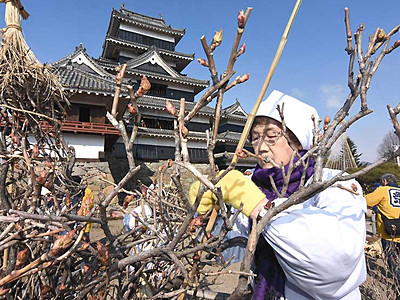 つぼみ顔出し「かわいい」 松本城で冬囲い取り外し