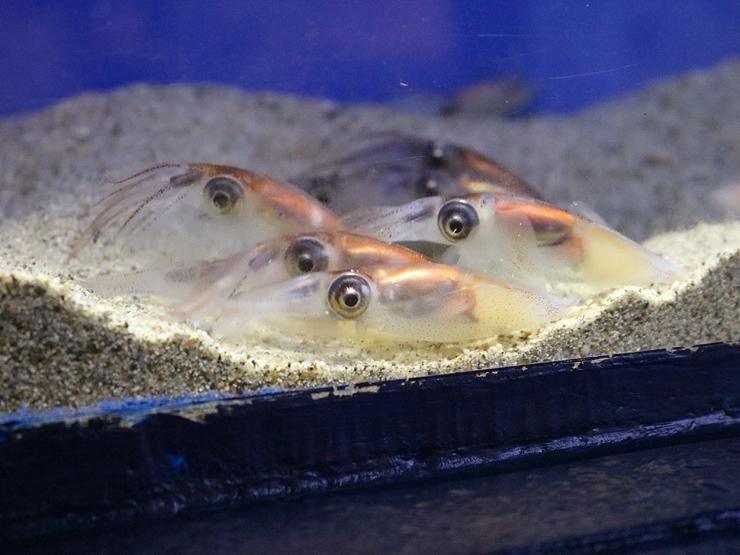 展示されているホタルイカ=魚津水族館