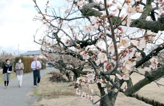 ほころび始めた梅の花が行き交う人の目を楽しませている=16日、新潟市江南区亀田地区