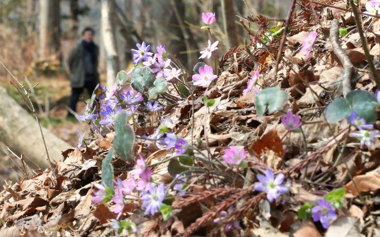 早春の草花が芽吹き始めた雪国植物園=長岡市宮本町3