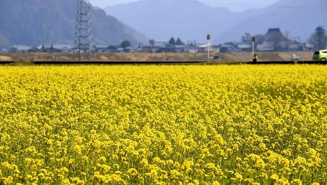 水田で鮮やかな黄色い花を咲かせるさばえ菜花=20日、鯖江市舟枝町