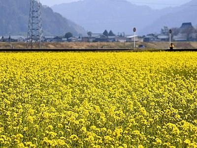 菜花、春彩る 鯖江の水田