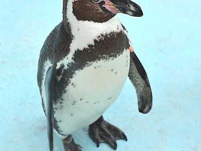 3回脱走、ペンギン「トット」1位 須坂市動物園の代表選挙