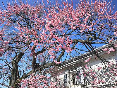 青空の下、400年のピンク 飯田城主ゆかりの紅梅