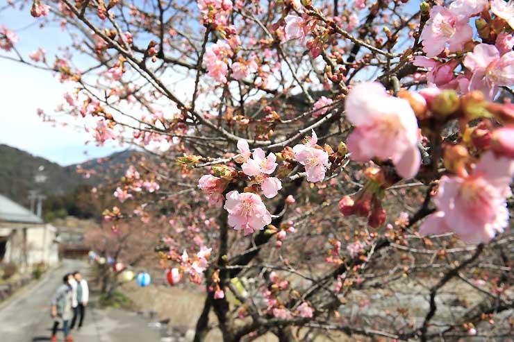 遠山川沿いで咲き始めた河津桜