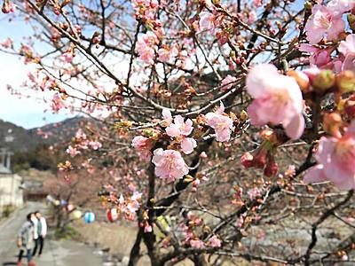 春の日浴び、輝く河津桜 飯田・遠山川沿いに200本