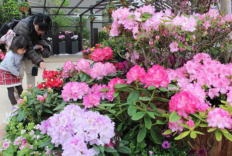 鮮やかな花々が咲き誇るシャクナゲ・ツツジ展=31日、新潟市秋葉区の県立植物園