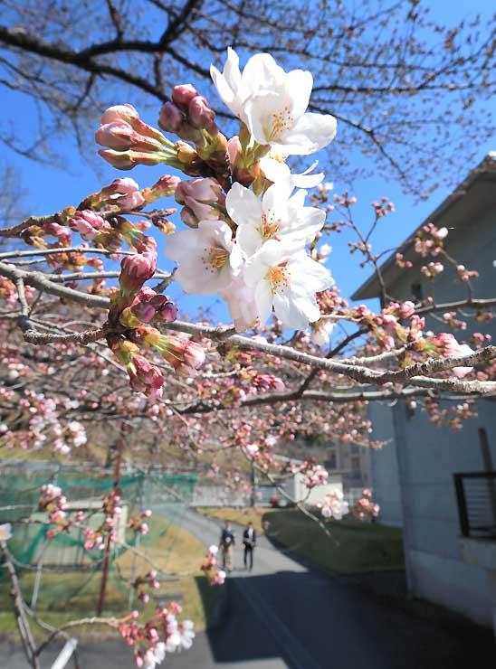 青空の下で開花したソメイヨシノ=3日、天龍村