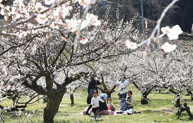 暖かな日差しを浴び、咲きそろった梅の花