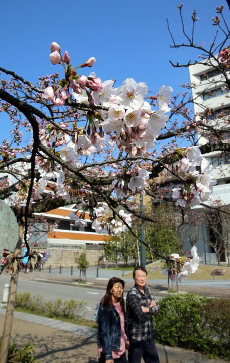 日差しを浴びて咲き始めた桜=富山市の松川べり