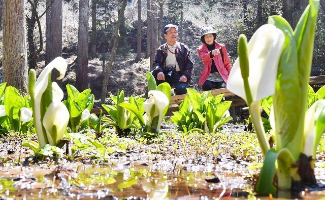 春の柔らかな日差しを受け、見ごろを迎えているミズバショウ=4日、越前市余川町の「万葉の里味真野苑」
