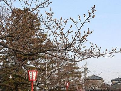 桜の名所で「春まつり」 新発田、7日から