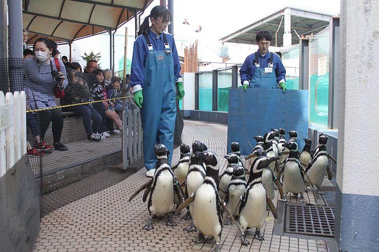 多くの観客が見守る中で行われたマゼランペンギンの引っ越し=5日、上越市立水族博物館