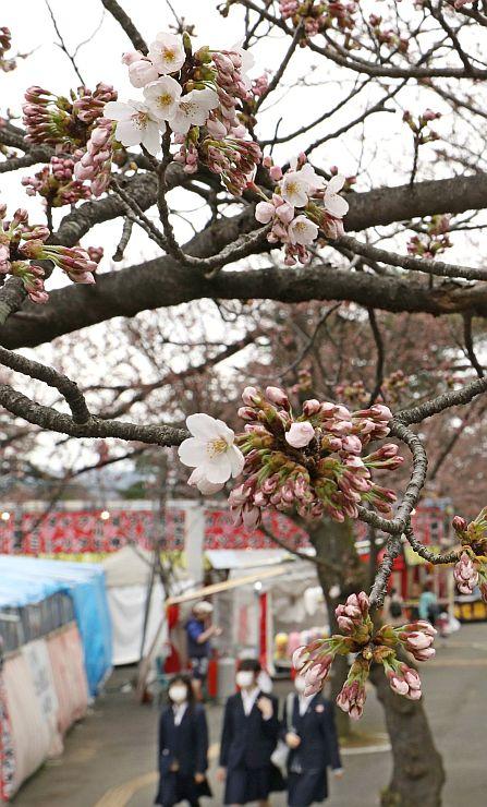 開花した高田公園の桜=6日、上越市