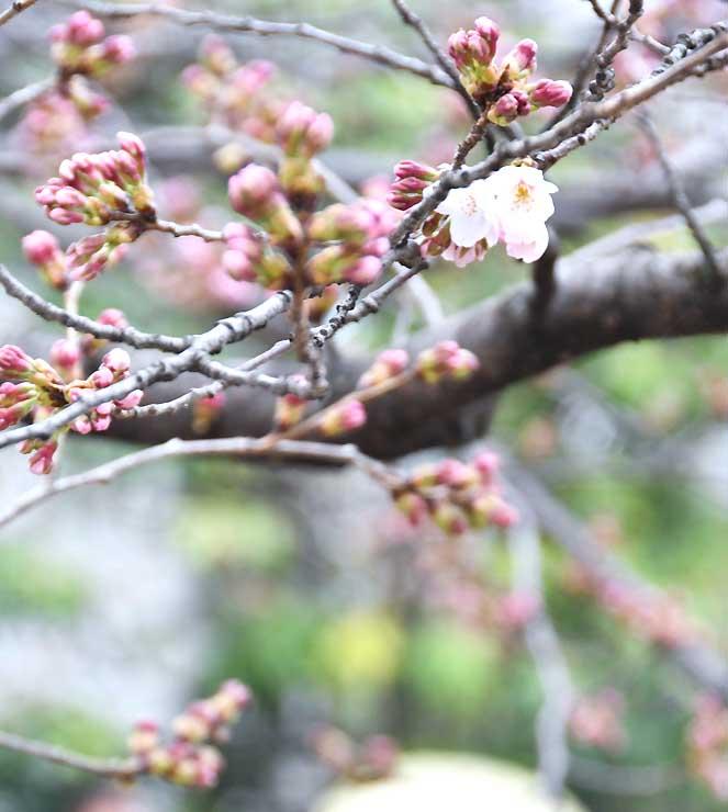 小雨交じりの中、開花した大宮通りのソメイヨシノの標準木。まだ、つぼみも多い=6日午後3時半