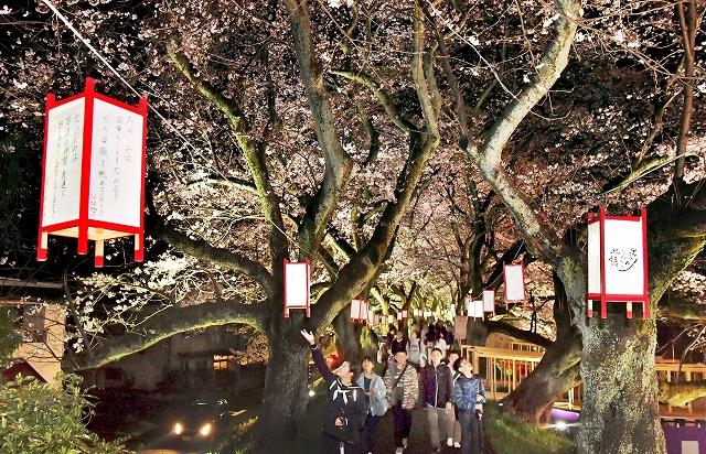 満開の桜並木を優しく照らすぼんぼり=7日夜、福井市つくも1丁目