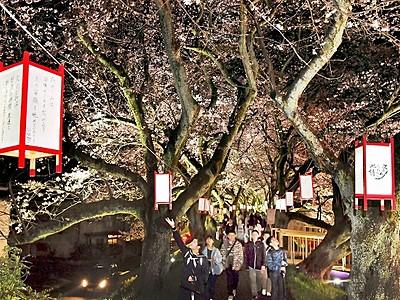 春の宵、満天桜 福井・足羽川ぼんぼり点灯