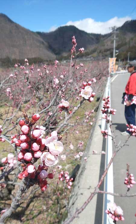 花がほころび始めた長野市松代町東条のアンズ