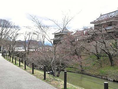 上田城千本桜まつり、長~く楽しんで! 開花遅れで1週間延長