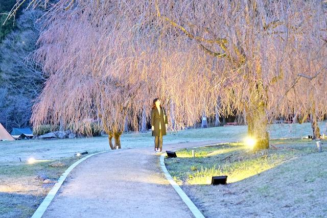 しだれ桜ライトアップの点灯式=8日、福井県坂井市丸岡町山竹田のたけくらべ広場