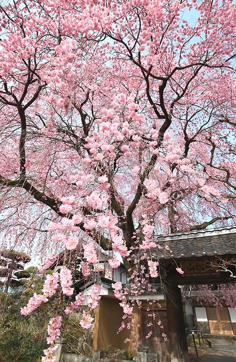 垂れ下がった枝に、濃いピンクの花が連なる黄梅院のシダレザクラ=10日、飯田市江戸町