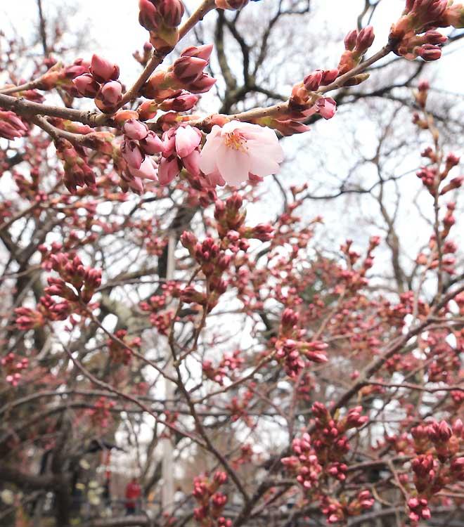 伊那市高遠城址公園南側で開花したタカトオコヒガンザクラ=10日午後2時13分