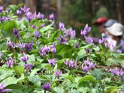 カタクリの花が山肌彩る 矢ばなの里、16日までまつり