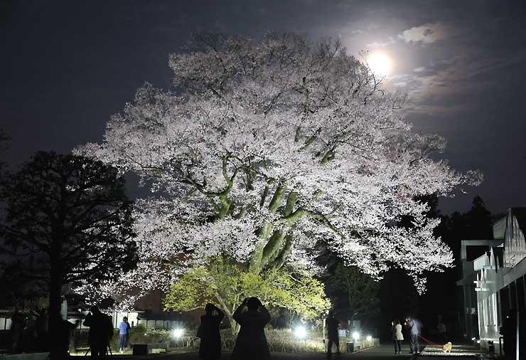 おぼろ月を背景に、ライトアップされて浮かび上がる安富桜=10日夜、飯田市追手町