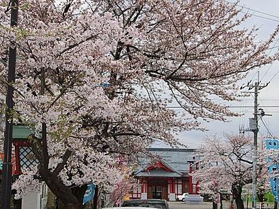 新潟県内お花見スポット 弥彦駅前(弥彦村)